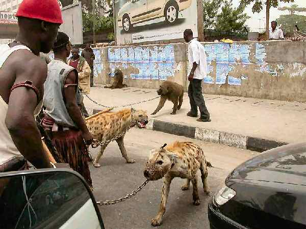 hyenas on a leash